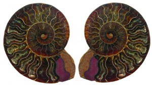 ammonite pair420